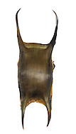Spotted Ray Raja montagui egg case length to 8cm<br /> Capsule long and slender; has four horns of similar length, one pair curled in at tip, the other pair curled upwards.