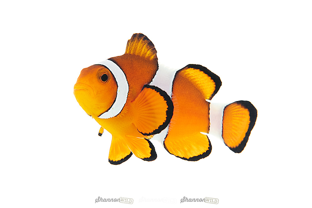 Clownfish are native to warmer waters of the Indian and Pacific oceans, including the Great Barrier Reef and the Red Sea. While most species have restricted distributions, others are widespread.<br />