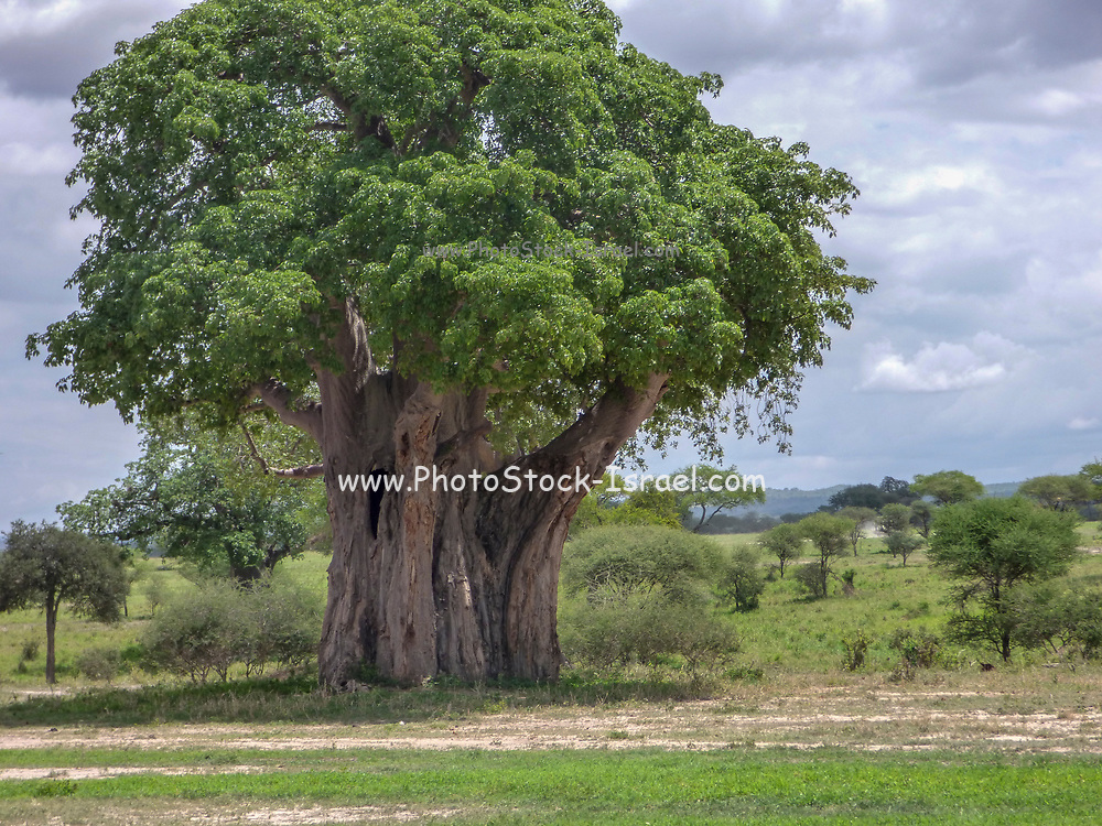 Lone Baobab Tree (Adansonia digitata). This tree is found in the hot, dry regions of Sub-Saharan Africa. It has a large trunk for storing water. Photographed in Tanzania in May