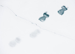 Footprint of Polar bear