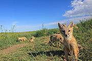 Swift fox family group in habitat