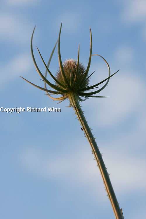 Teasel head against the blue sky of late evening, next to the River Parrett in Bridgwater.