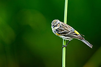 Yellow-rumped Warbler (Dendrica coronata) perched in reeds, Wakodahatchee Wetlands, Delray Beach, Florida, USA   Photo: Peter Llewellyn