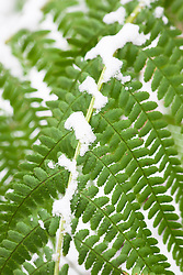 Male-fern, Dryopteris filix-mas in snow in winter.