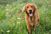 Dog (golden retriever) walking among wildflowers in the Sierra Nevada, Mokelumne Wilderness, Eldorado National Forest, California