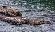 Sea Lions basking at the Yaquina Head Marine Garden in Newport, Oregon