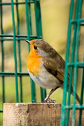 Derwent Dam car park a Robin at the bird feeders <br /> <br />  Copyright Paul David Drabble<br />  15th April 2019<br />  www.pauldaviddrabble.co.uk
