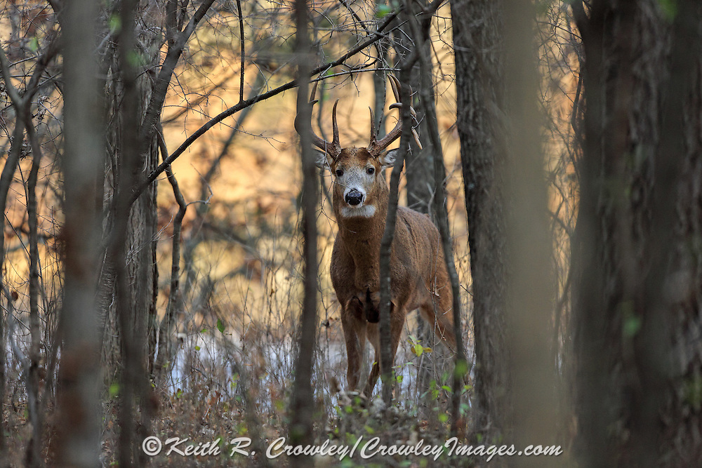 Whitetail buck in fall habitat.