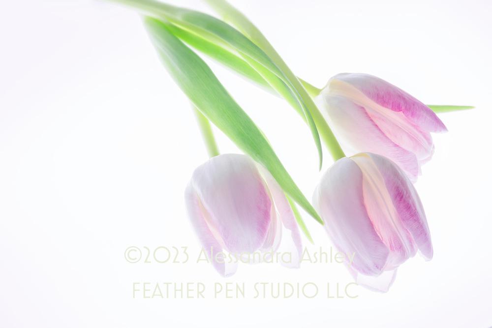 Translucent lavendar-pink and white tulip trio.