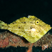 Bristle tail Filefish Acreichthys tomentosum at Lembeh Straits, Indonesia.
