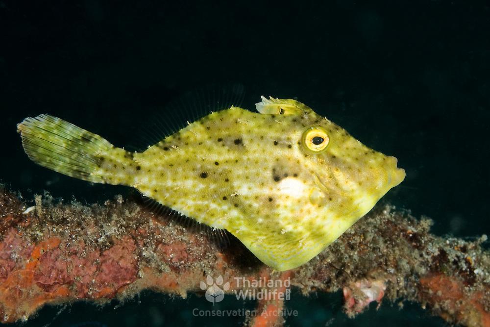 Bristle tail Filefish Acreichthys tomentosum at Lembeh Straits, Indonesia.