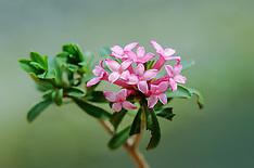 Rozemarijn peperboompje, Daphne cneorum