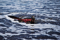 Endemic Marine Iguana (Amblyrhynchus cristatus) in sea foam while coming out of the ocean on a black sand beach in the Galapagos, Black Beach, Floreana Island, Galapagos Islands, Ecuador
