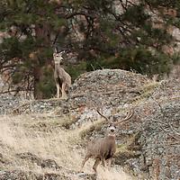 mule deer buck in rocks