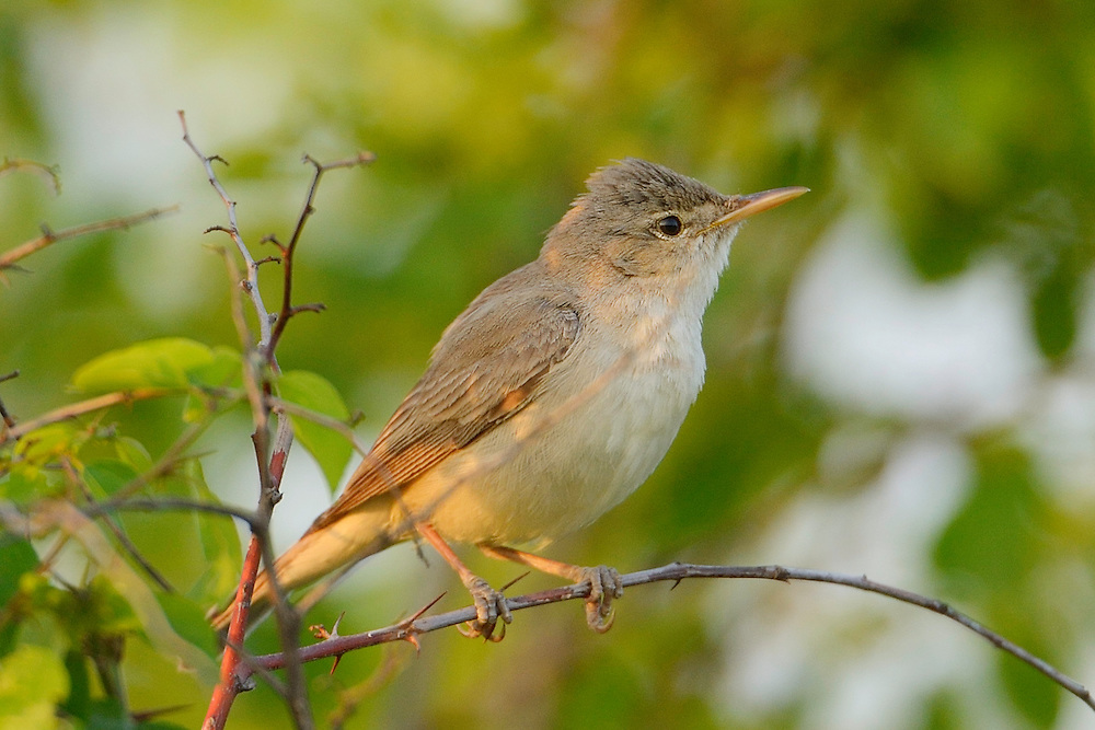 Eastern olivaceous warbler, Hippolais pallida, Sakar mountains, Eastern Rhodope mountains, Bulgaria