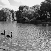 Black Swans Wide - Regents Park - London, UK - Black & White