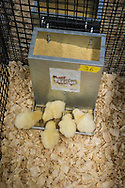Probiotic Supplementation Effects on Performance, Metabolic Parameters and Hormone Levels of Broilers Subjected to Constant Heat Stress from Three to Six Weeks of Age. Heat stress is a common problem in today's poultry industry and not only does it decrease growth of the bird, but it jeopardies their immunity and increases mortality. Three different strains of bacillus bacteria that have been highly tested in the OSU FAPC Research Center will be fed to half of the chickens during the trial. This will tell us if the probiotics developed at OSU will alleviate some effects of heat stress, improve net energy gain, and improve the health of the broiler. effect of the supplement is being evaluated at OSU by graduate student Sarah Schobert.