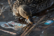 A female mallard forages for food amongst trash in the Constitution Gardens Pond, Sunday, March 19, 2017 in Washington. An attraction for the millions of tourists that frequent Washington, trash often litters the pond.