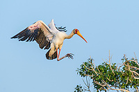 Adult Yellow-Billed Stork braking as it comes into land at its nesting colony, Chobe River, Kasane, Botswana.