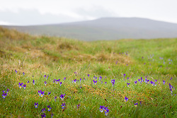 Mountain pansies growing wild on wet heathland at Teesdale. Mountain pansy. Viola lutea