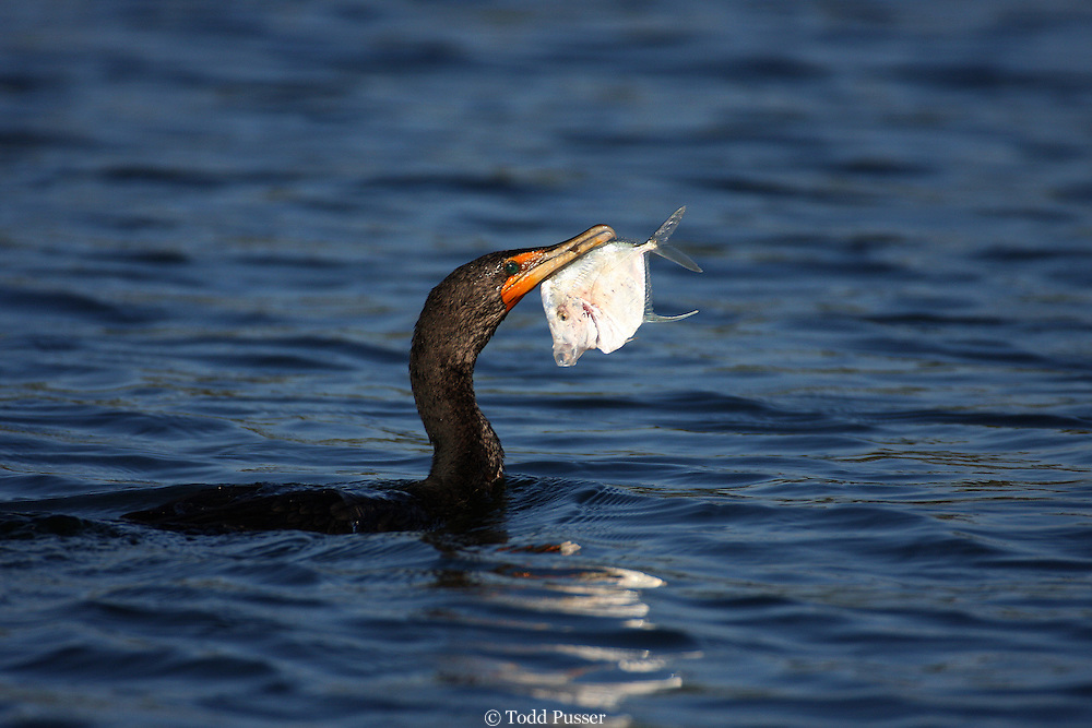 Double-crested cormorant (Phalacrocorax auritus) with a lookdown fish (Selene vomer).  Crystal River, Florida, USA
