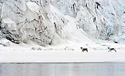 Svalbard reindeers, Rangifer tarandus platyrhynchus, passing in front of a huge glacier.