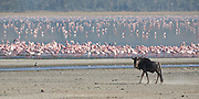 Wildebeest and flamingoes, Ngorongoro Crater, Tanzania