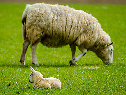 A new born lamb sleeps in the spring sunshine as mum feeds<br /> <br /> (c) Andrew Wilson | Edinburgh Elite media