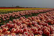 Bolgewassen - Tulpen | Bulbs - Tulips