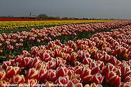 Bloembollenteelt (tulpen) aan de Waddenzeedijk bij Sexbierum en Oosterbierum.