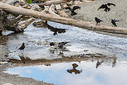 Nine American crows (Corvus brachyrhynchos) feed near the point where South Creek in Seahurst Park, Burien, Washington, empties into Puget Sound.