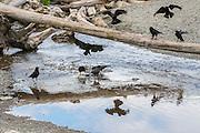 Nine American crows (Corvus brachyrhynchos) feed near the point where South Creek in Seahurst Park, Burien, Washington, empties into Puget Sound.