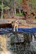 Gray Wolf Standing and looking atop falls