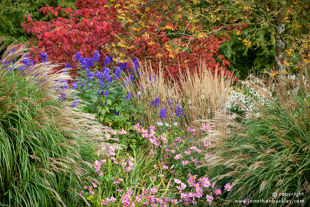 Autumn border at Pettifers. Sorbus 'Joseph Rock' - Mountain ash, Miscanthus sinensis 'Yakushima Dwarf', Calamagrostis × acutiflora 'Karl Foerster', Anemone hupehensis 'Bowles's Pink', Aconitum carmichaelii Arendsii Group 'Arendsii' and Euonymus planipes - Flat-stalked spindle tree syn. Euonymus sachalinensis misapplied