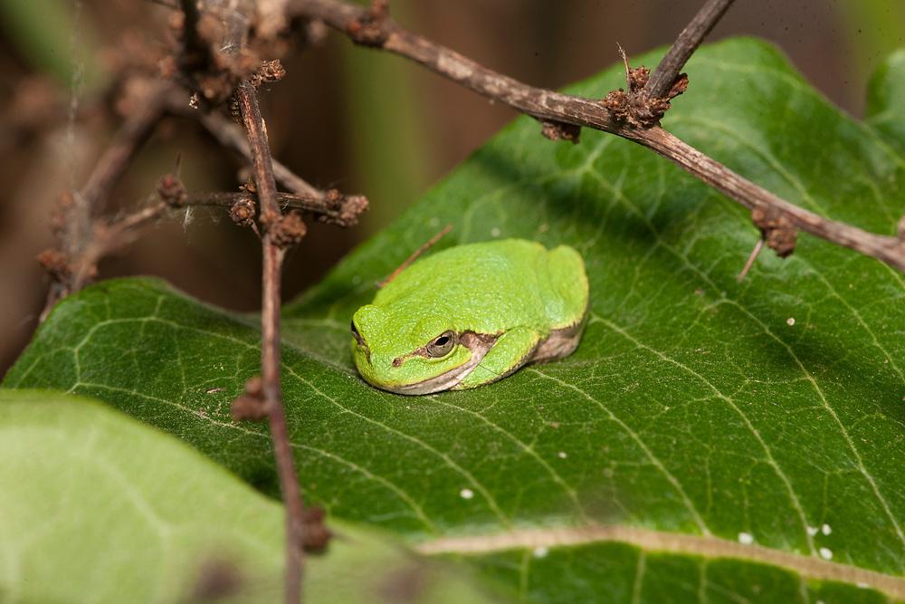Tree Frog resting on Milkweed leaf