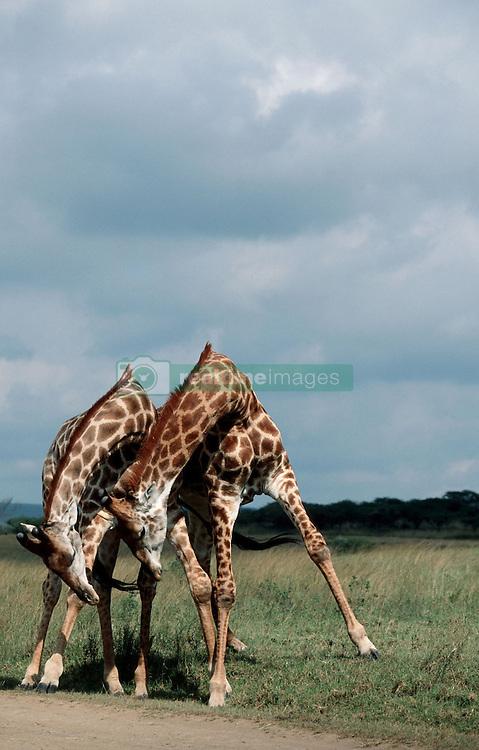 July 7, 2015 - Giraffes, bulls fighting, Kruger national park, South Africa / (Giraffa camelopardalis) / Giraffen, kaempfende Bullen, Krueger Nationalpark, Suedafrika (Credit Image: © Wisniewski, W/DPA/ZUMA Wire)