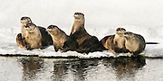 A family of river otters taking a winter break on an ice bank in Jackson Hole, WY.