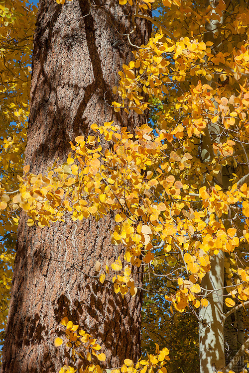 """Aspen and Pine Tree"" - These yellow aspen leaves and trunk of a pine tree were photographed in the fall near Truckee, California."