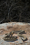 Two western diamondback rattlesnake sunning on a rock in the west Texas desert.
