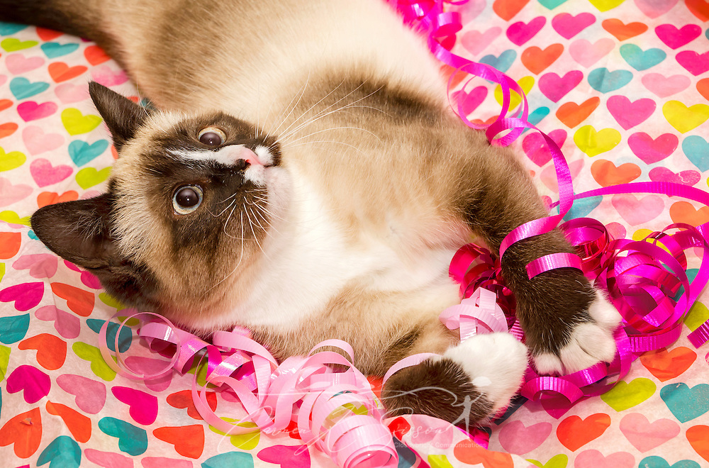 Twinkie, a Siamese kitten, plays with red and pink ribbons for Valentine's Day, Feb. 14, 2014. (Photo by Carmen K. Sisson/Cloudybright)