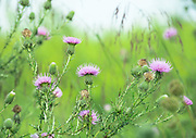 Beautiful light on these blooming Thistle.  Bombay Hook NWR, Delaware