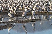 Grey Cranes (Grus grus) Photographed at the Agamon lake, Hula Valley, Israel, winter January