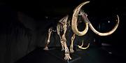 Nieuwe expositie in de Amsterdam Expo - Giants of the Ice Age de grootste reizende tentoonstelling over de ijstijd ooit.<br /> <br /> Op de foto:  Een origineel mammoetskelet