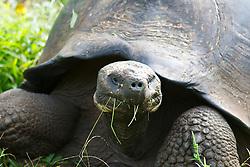 Male Galapagos tortoise / Galápagos giant tortoise (Chelonoidis nigra porteri), Galapagos Islands National Park, Santa Cruz Island Galapagos Ecuador