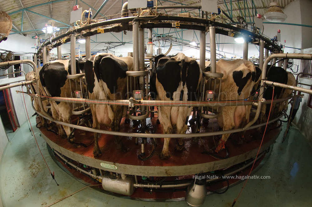 Dairy farming is a class of agricultural, or an animal husbandry, enterprise, for long-term production of milk, usually from dairy cows but also from goats, sheep and camels, which may be either processed on-site or transported to a dairy factory for processing and eventual retail sale.<br />