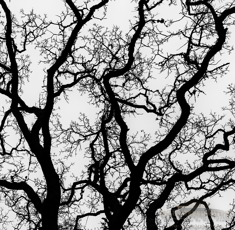 Oak tree branches in winter, Briones Regional Park, Contra Costa County, California