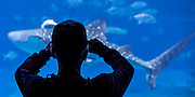 Okinawa Aquarium, Japan.  Silhouette of man photographing a Whale Shark swimming by.