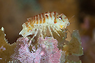 Isopods  (Sea Louse)