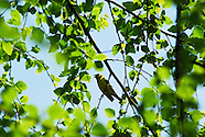 American Goldfinch- Columbus, Ohio