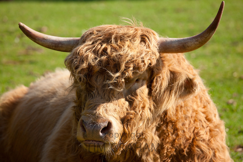 Highland cattle bull at the Cotswold Farm Park at Guiting Power in the Cotswolds, Gloucestershire, UK